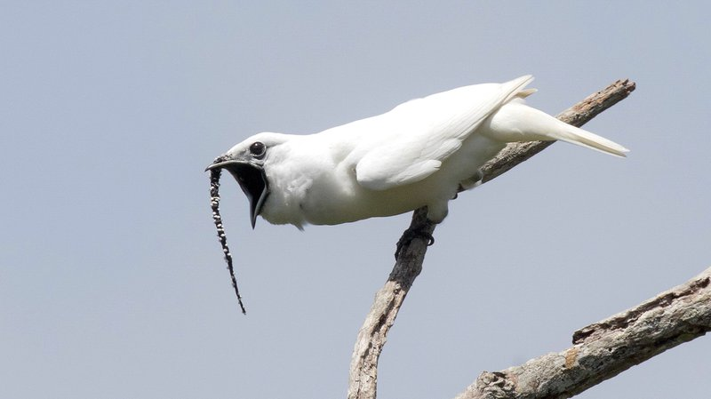 This image shows a male white bellbird screaming its mating call 1 CREDIT Anselmo d'Affonseca.jpg
