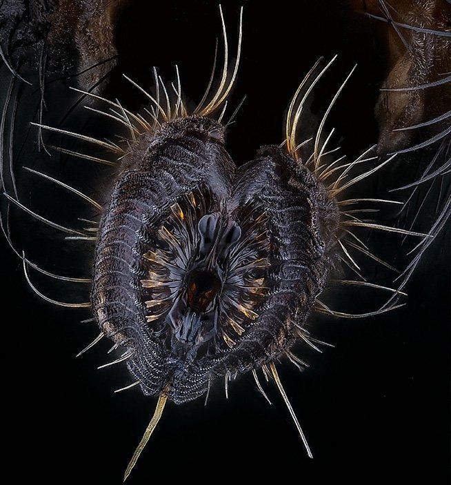 Housefly proboscis