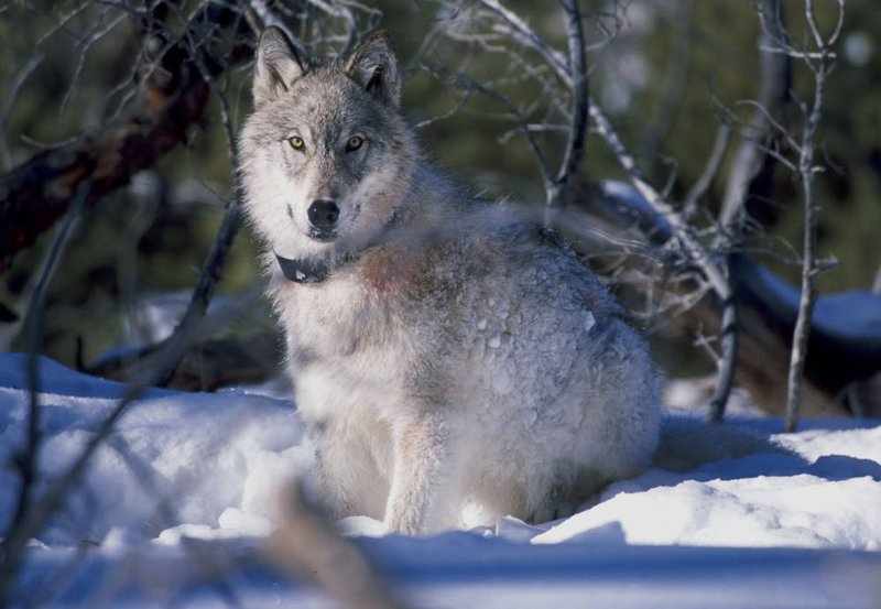 Wolf watches biologists in Yellowstone National Park - Campbell, William:USFWS.jpg