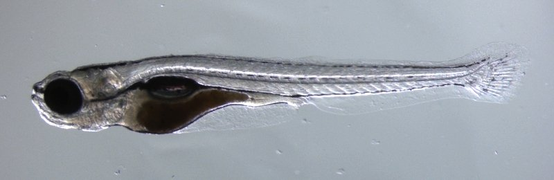 Zebrafish95-300.jpg