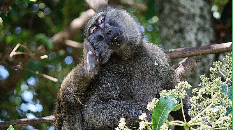 anubis-baboon