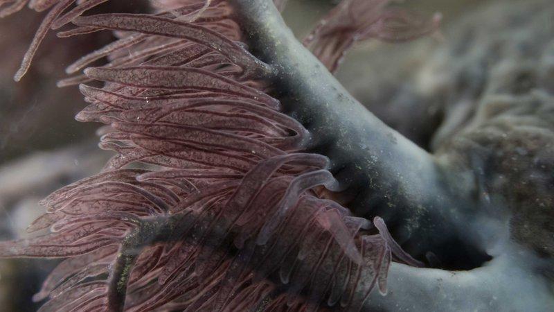 axolotl-gills