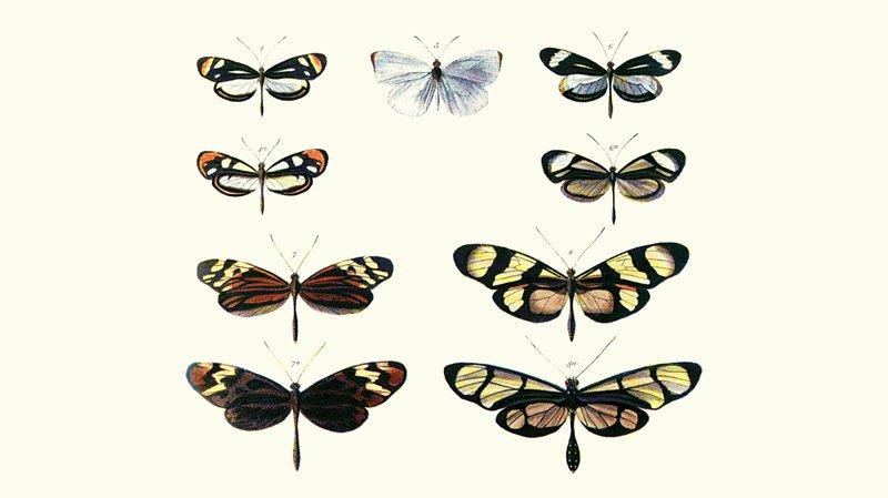 bates-butterflies