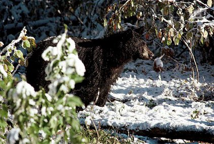 bear in snow