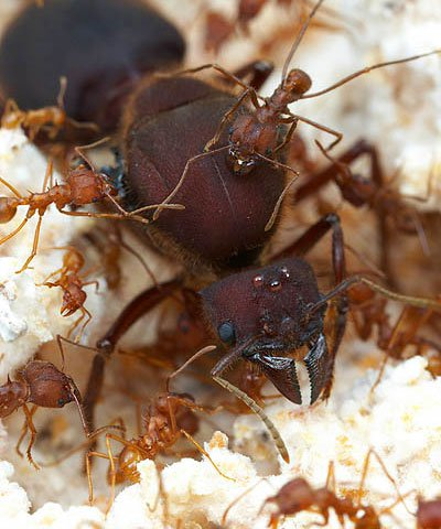 queen leafcutter ant