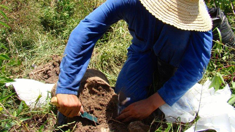 digging-cassava
