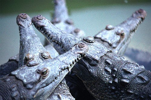 American crocodile yearlings