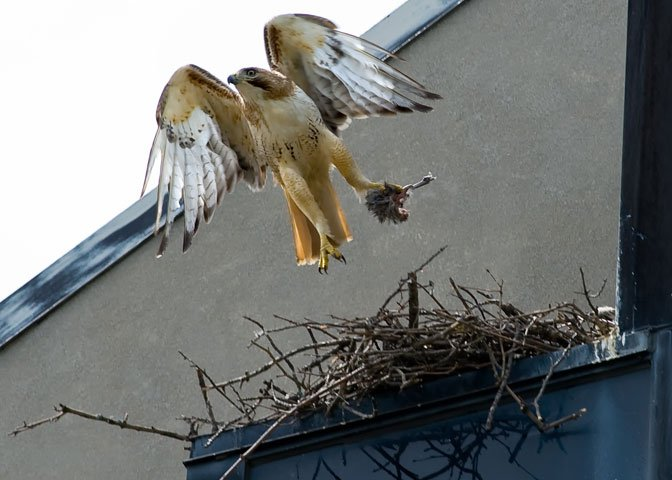 Red-tailed hawk at nest