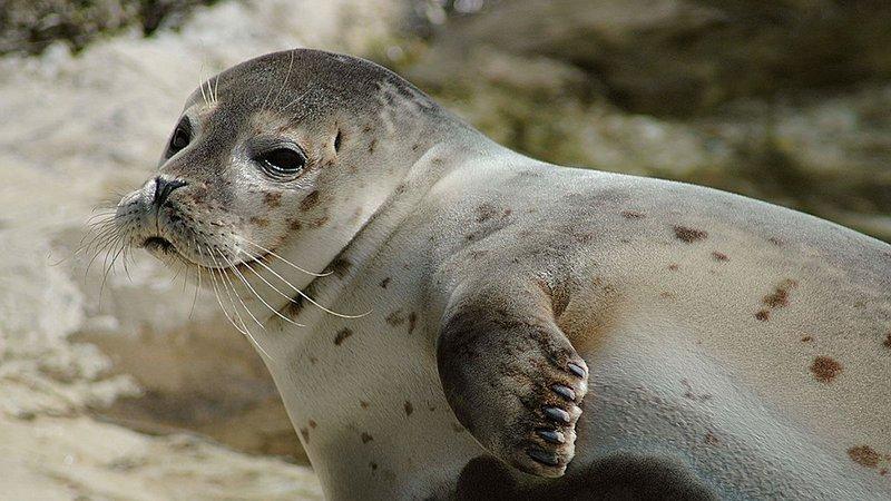 harbor-seal_2048x1152