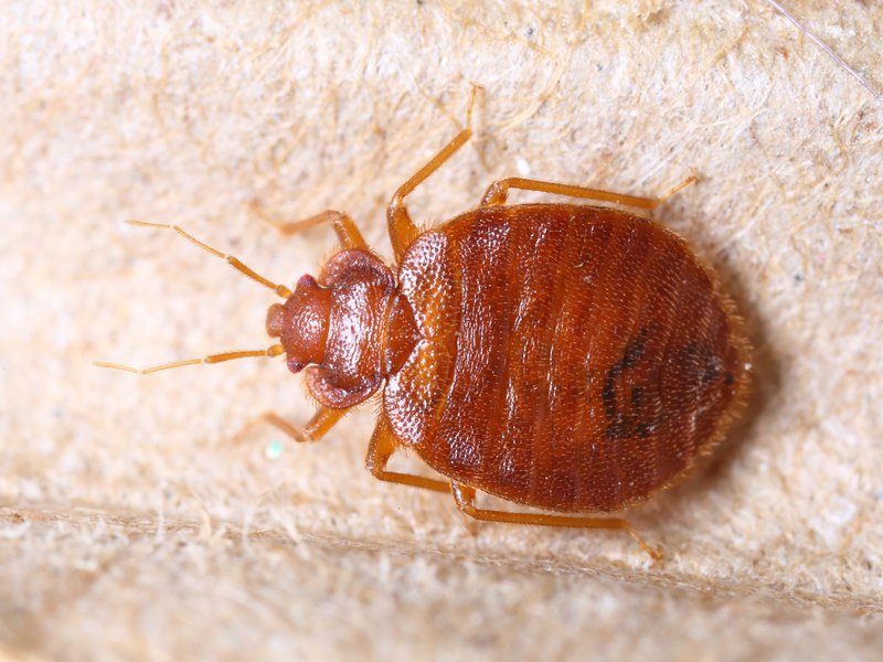 Bed Bugs Dont Need Beds Or Humans To Survive They Never