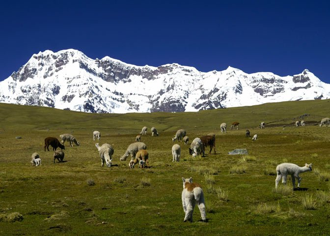 camelids in Andes