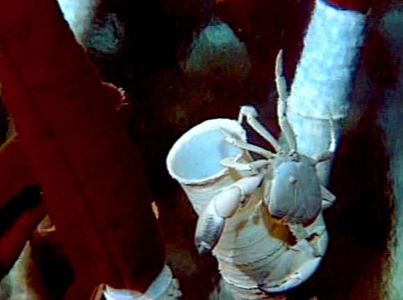 crab clinging to tubeworm