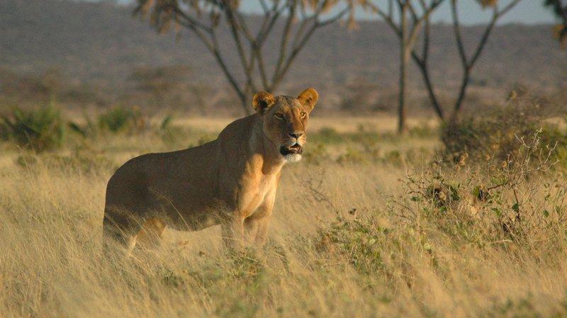 Lioness-Buffalo-Springs