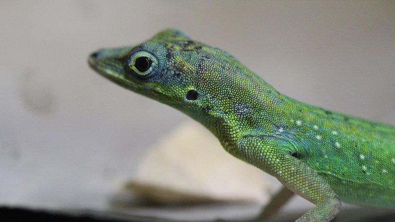 lizard-anolis