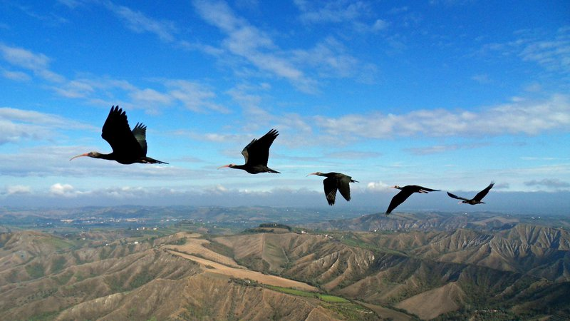 Why Do Birds Fly in Vs? Endangered Bird Solves the Mystery-migrating-northern-bald-ibises.jpg