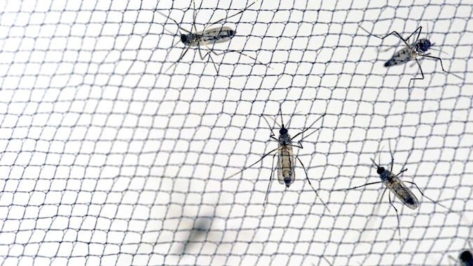 How Mosquito Nets Can Shape the Evolution of Behavior