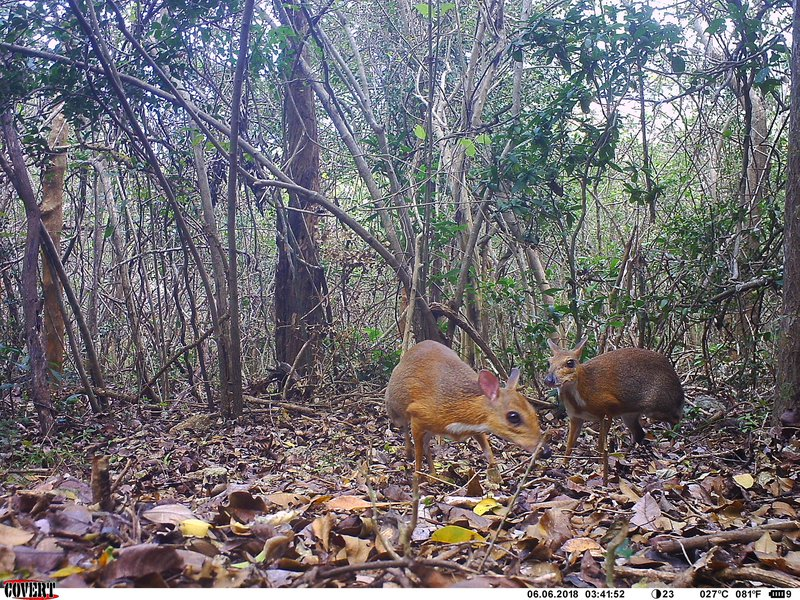 Fanged miniature mouse-deer rediscovered by scientists in Vietnam
