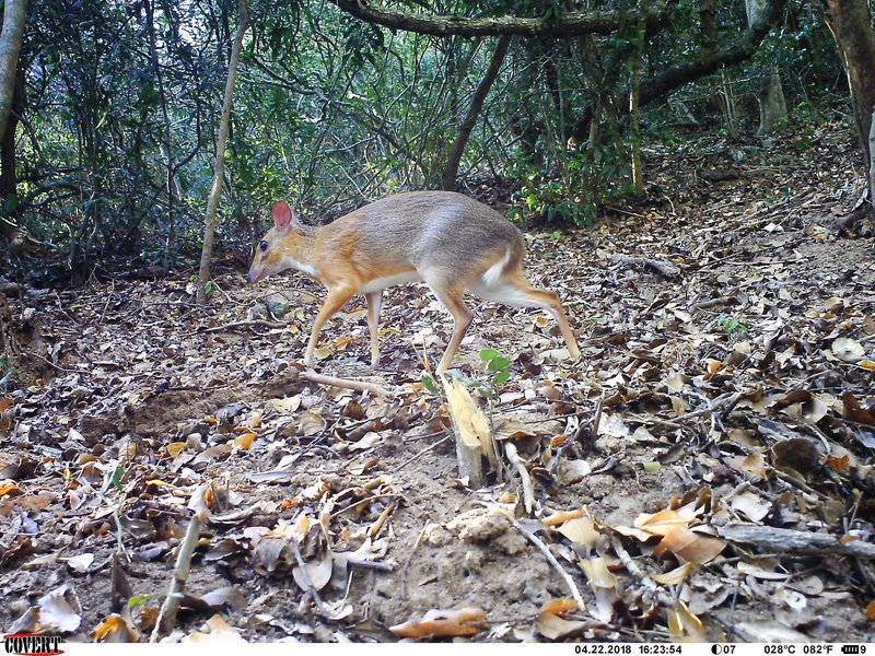 ncs016__ct016__2018-04-22__16-23-56(3)__Silver backed chevrotain.JPG
