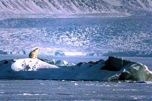 Polar bear in ice