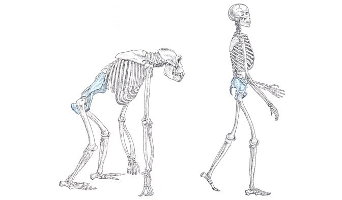 human & gorilla skeletons illustration