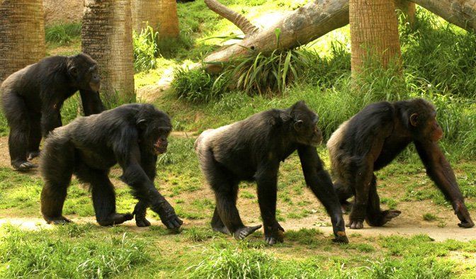 chimps walking