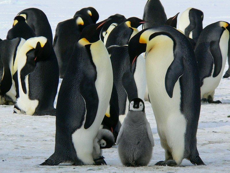 penguins-429128_1920.jpg