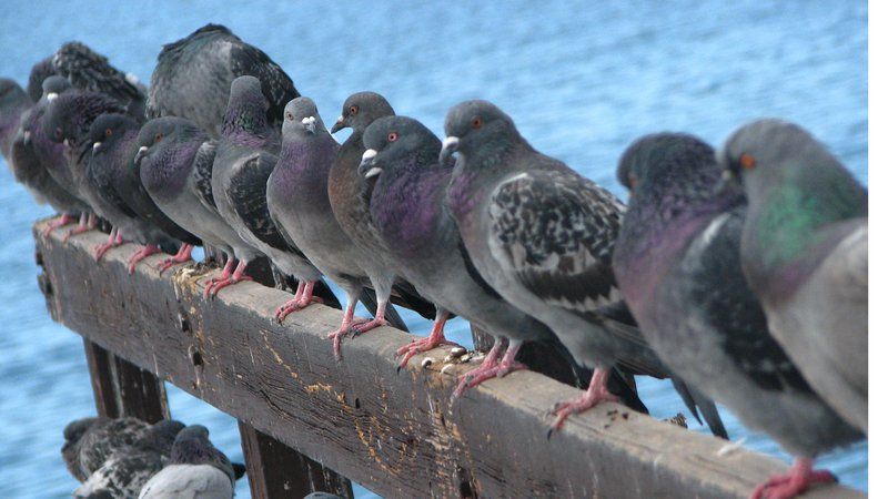 More Candidates Don't Produce Better Leaders, At Least for Pigeons-pigeons-use.jpg
