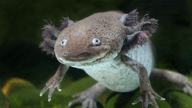 What Do We Lose If We Lose Wild Axolotls?