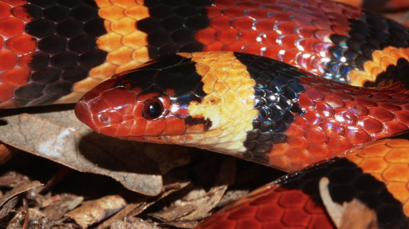 How the Kingsnake Is Still Fooling Predators into Thinking
