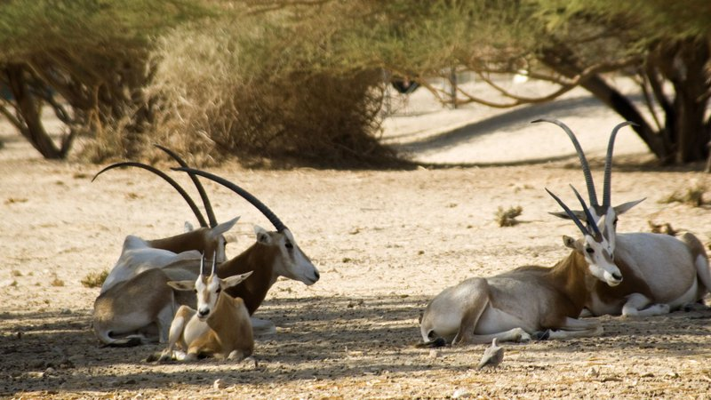 scimitar-horned oryx hai-bar