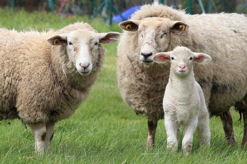 sheep-1547720_1920.jpg