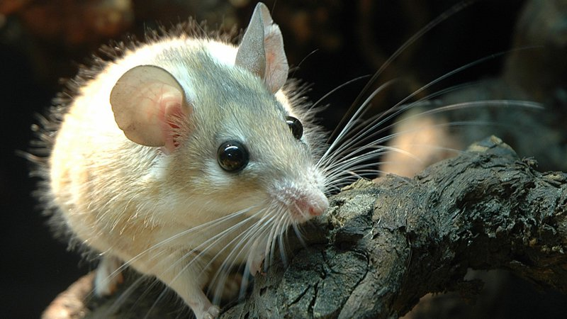 A Human-Like Menstrual Cycle Has Been Discovered in the Spiny Mouse-sinaistachelmaus-1-cropped.jpg