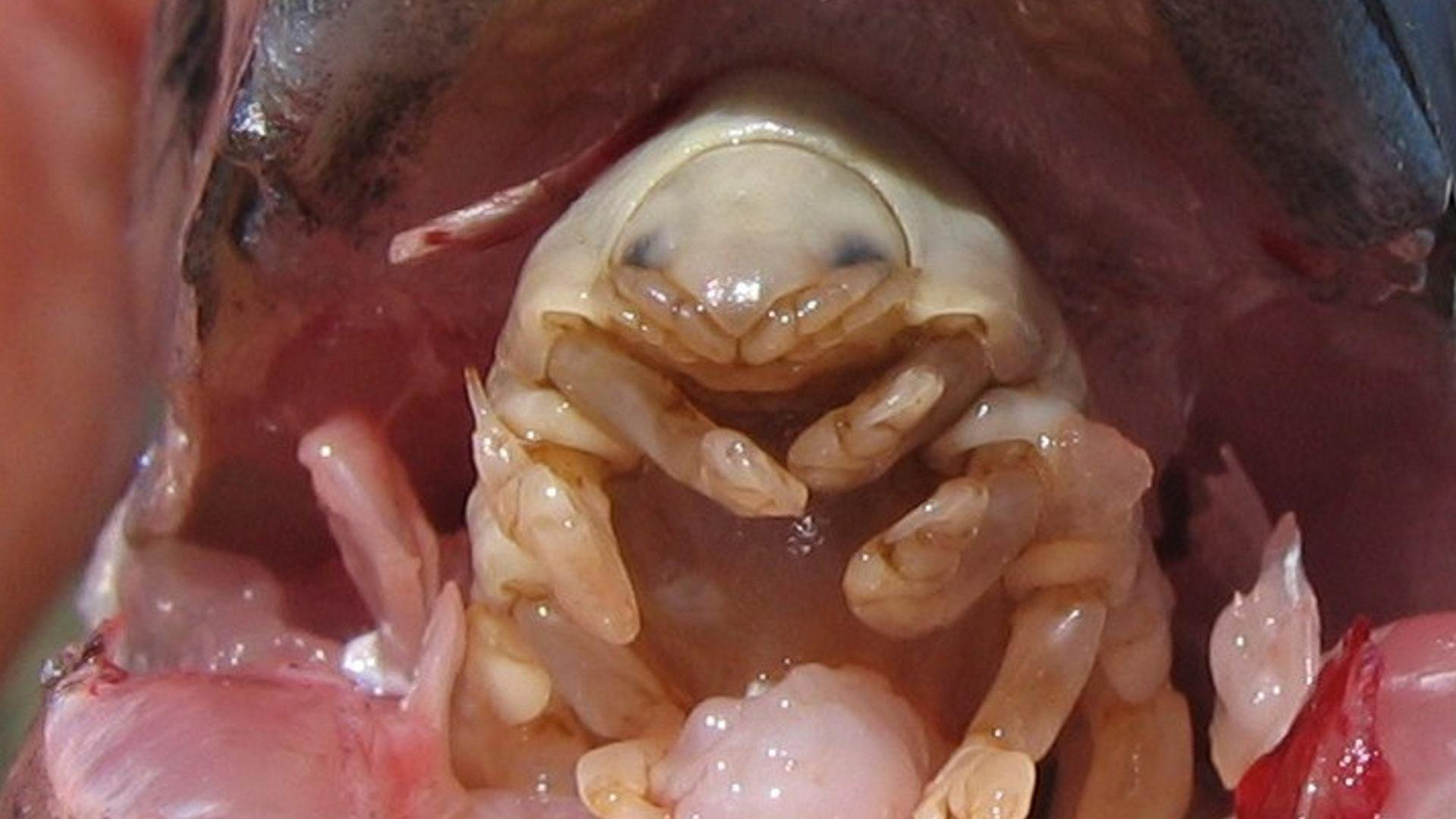 Image result for isopod in fish mouth