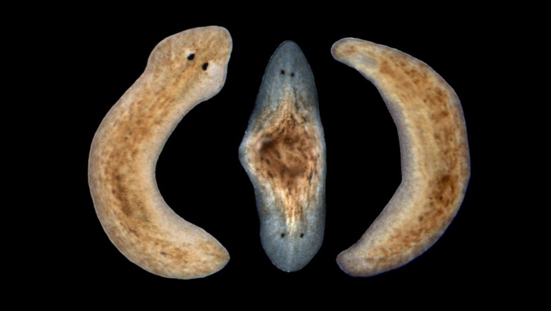 unlikely-planarians