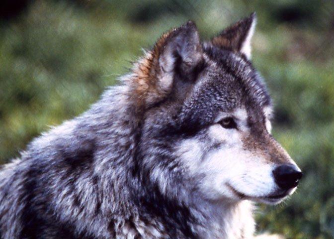 Grand Teton wolf