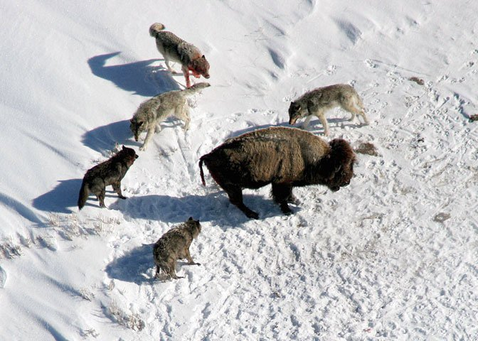 wolf pack hunting bison
