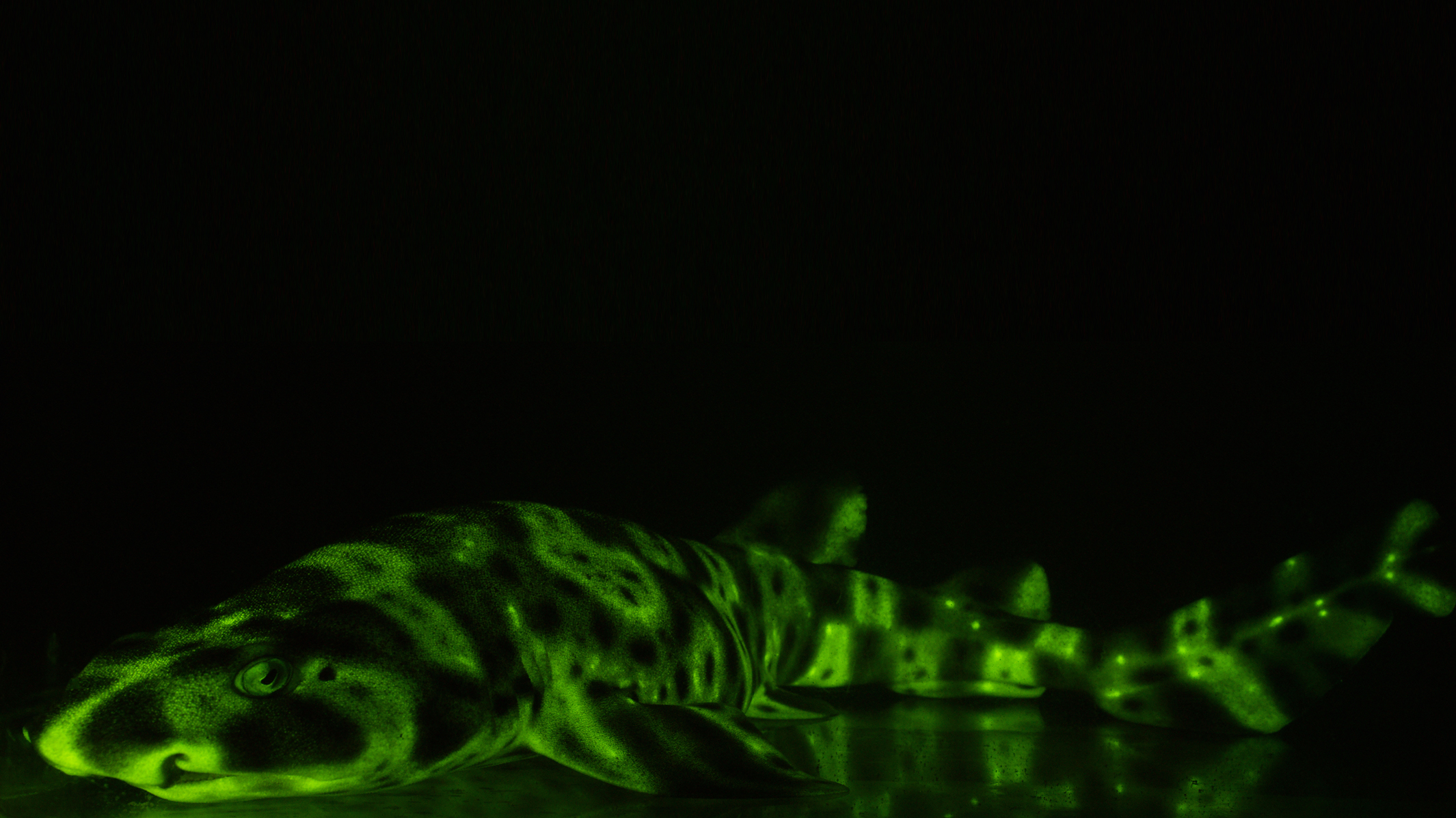 Biofluorescent swell shark Photo ©David Gruber (1).jpg
