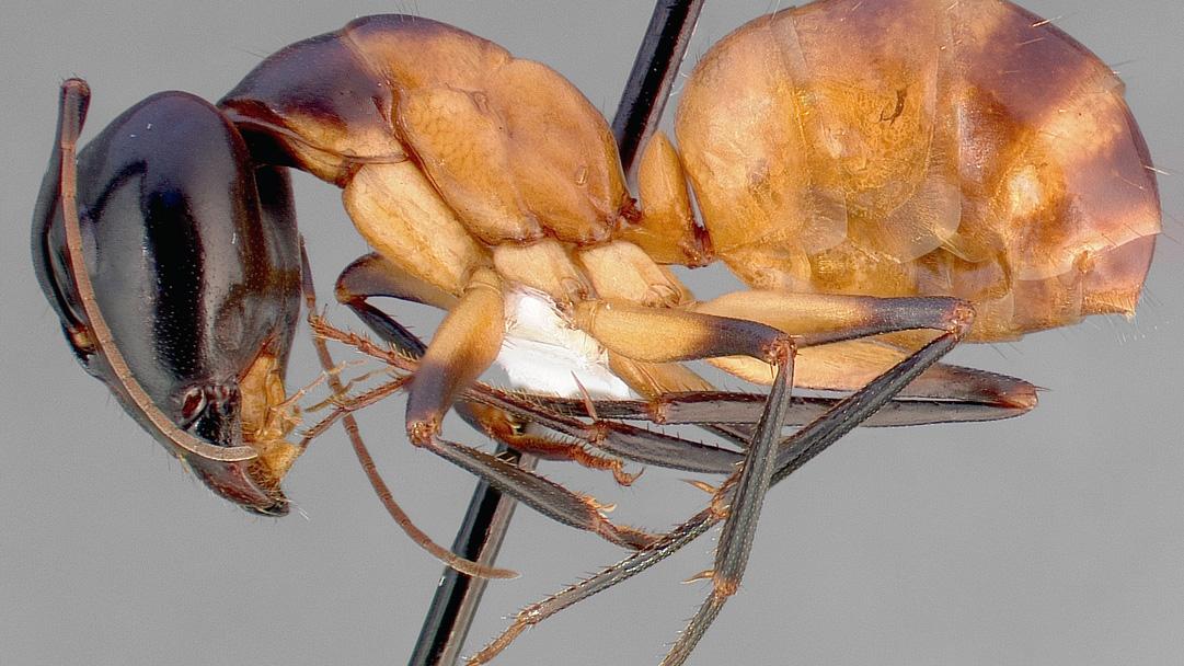 Camponotus_ocreatus_casent0005348_profile_1.jpg