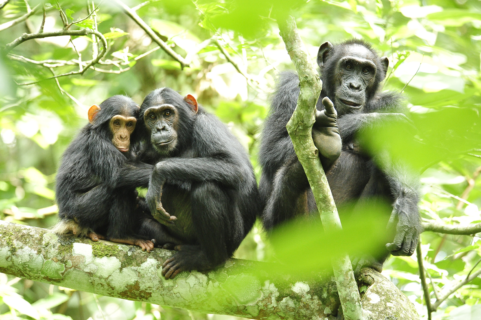 Chimpanzees_in_Uganda_(5984913059).jpg