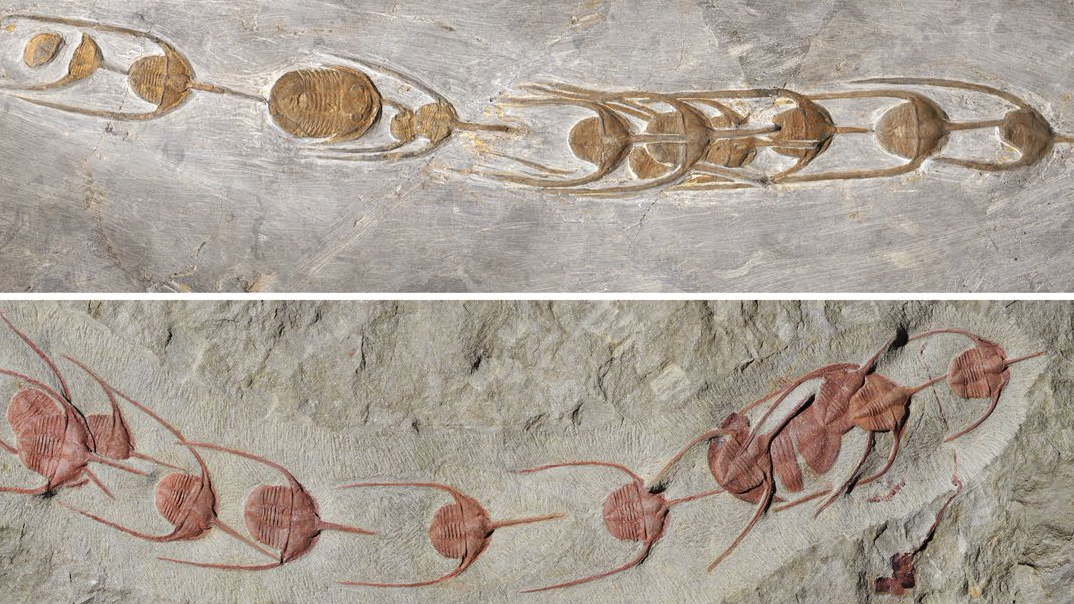 These 480-million-year-old conga lines preserve early signs of group behavior