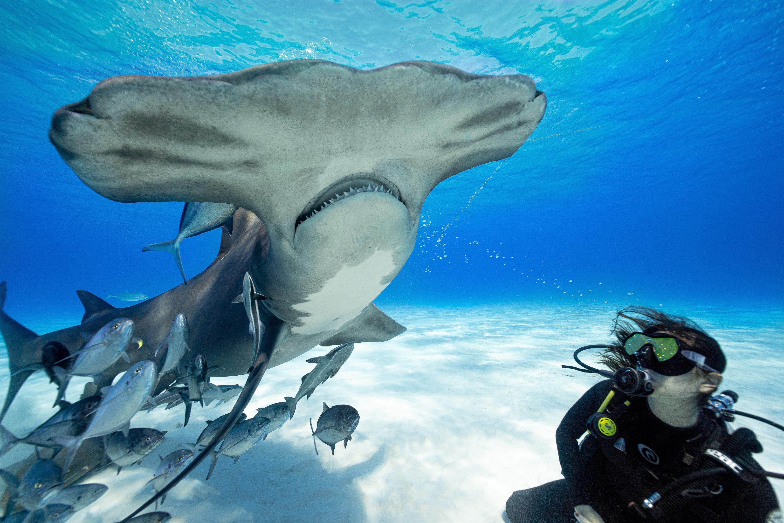 female scuba diver next to a great hammerhead shark