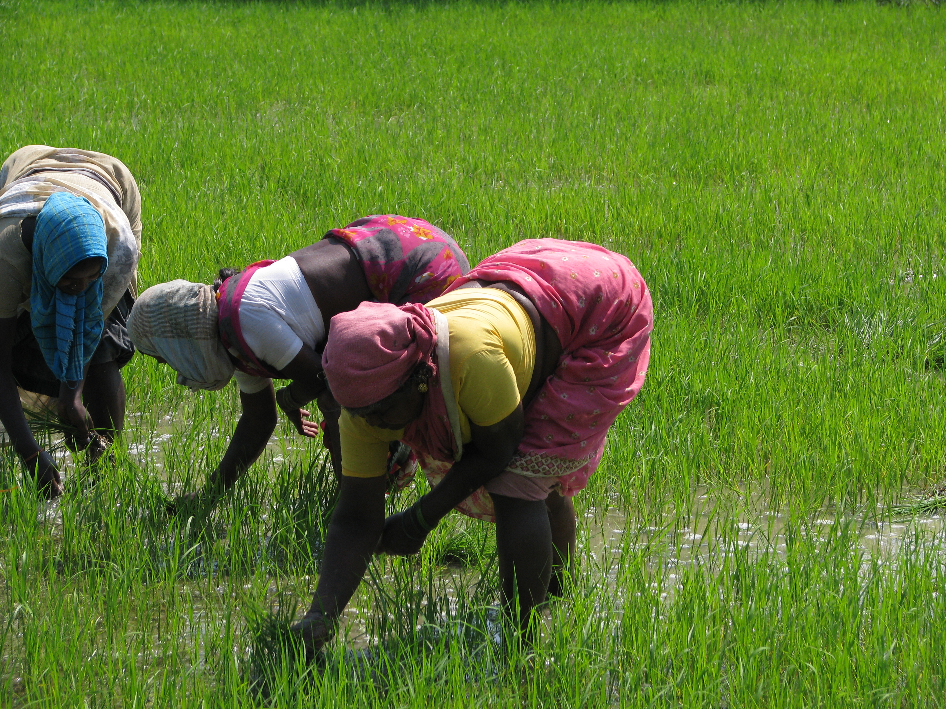 India_-_Sights_&_Culture_-_Planting_Rice_Paddy_5_(3245008474).jpg