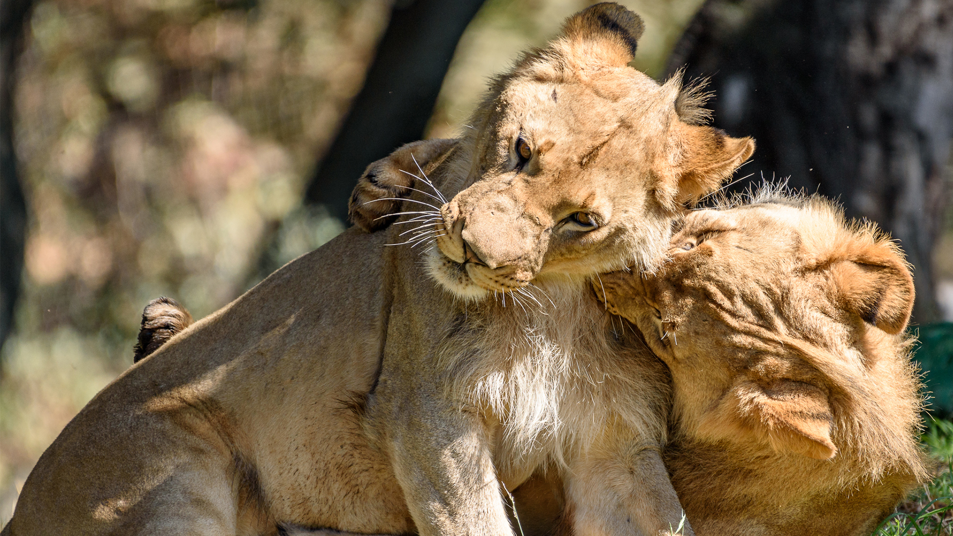 Lion_Hero.jpg