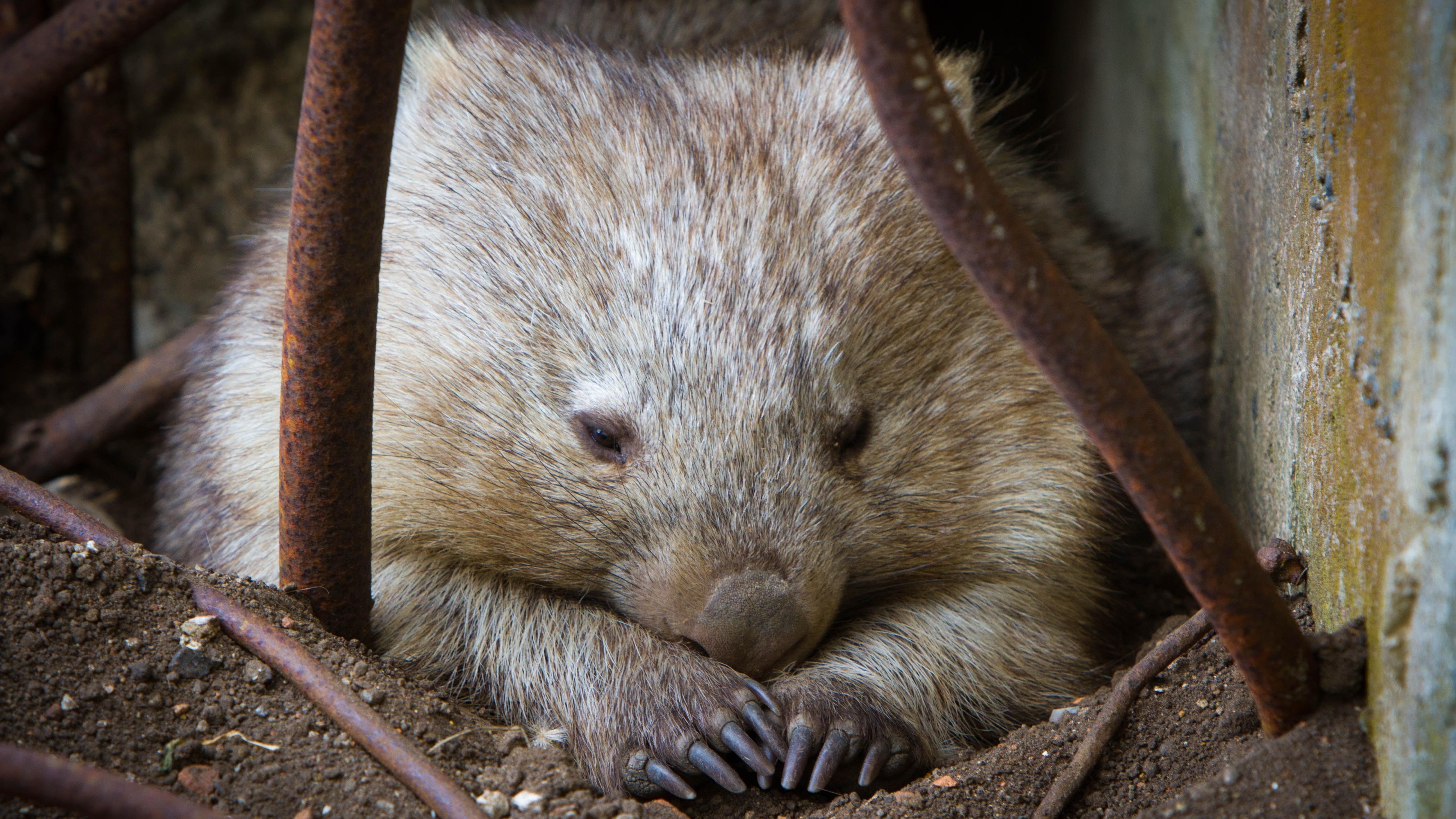 Pascal Renet Pexels wombat-763882.jpg