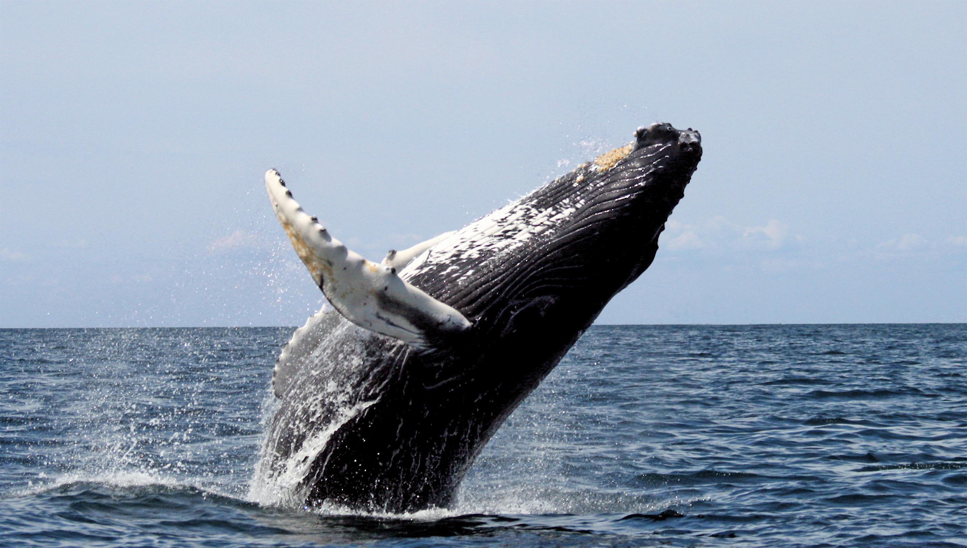 Whit Welles Wikimedia Commons Humpback Whale, breaching, Stellwagen Bank National Marine Sanctuary.jpg