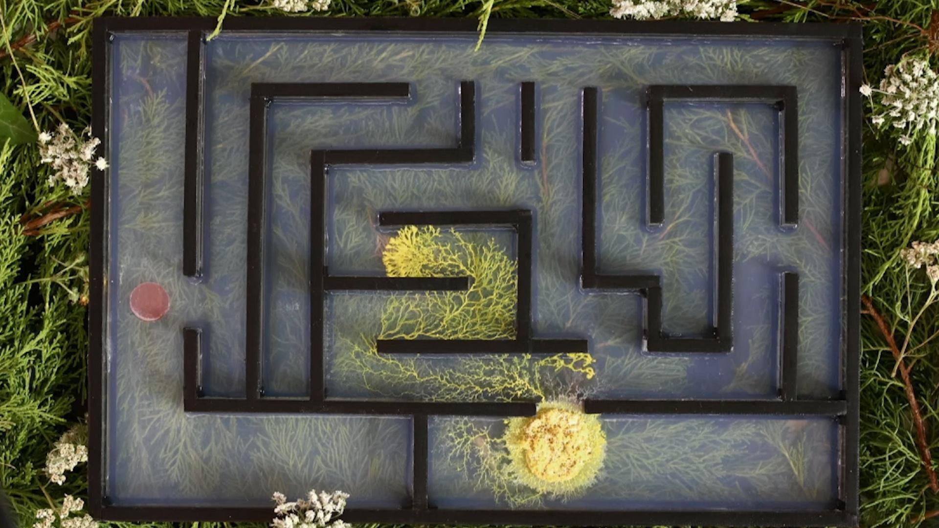 Brainless Slime Molds Navigate Mazes and Make Decisions Hero