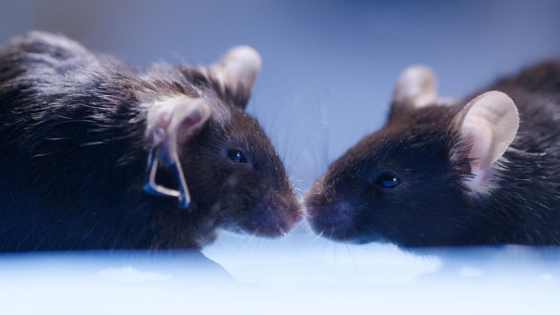 Cannabis Reverses Brain Aging in Mice Hero