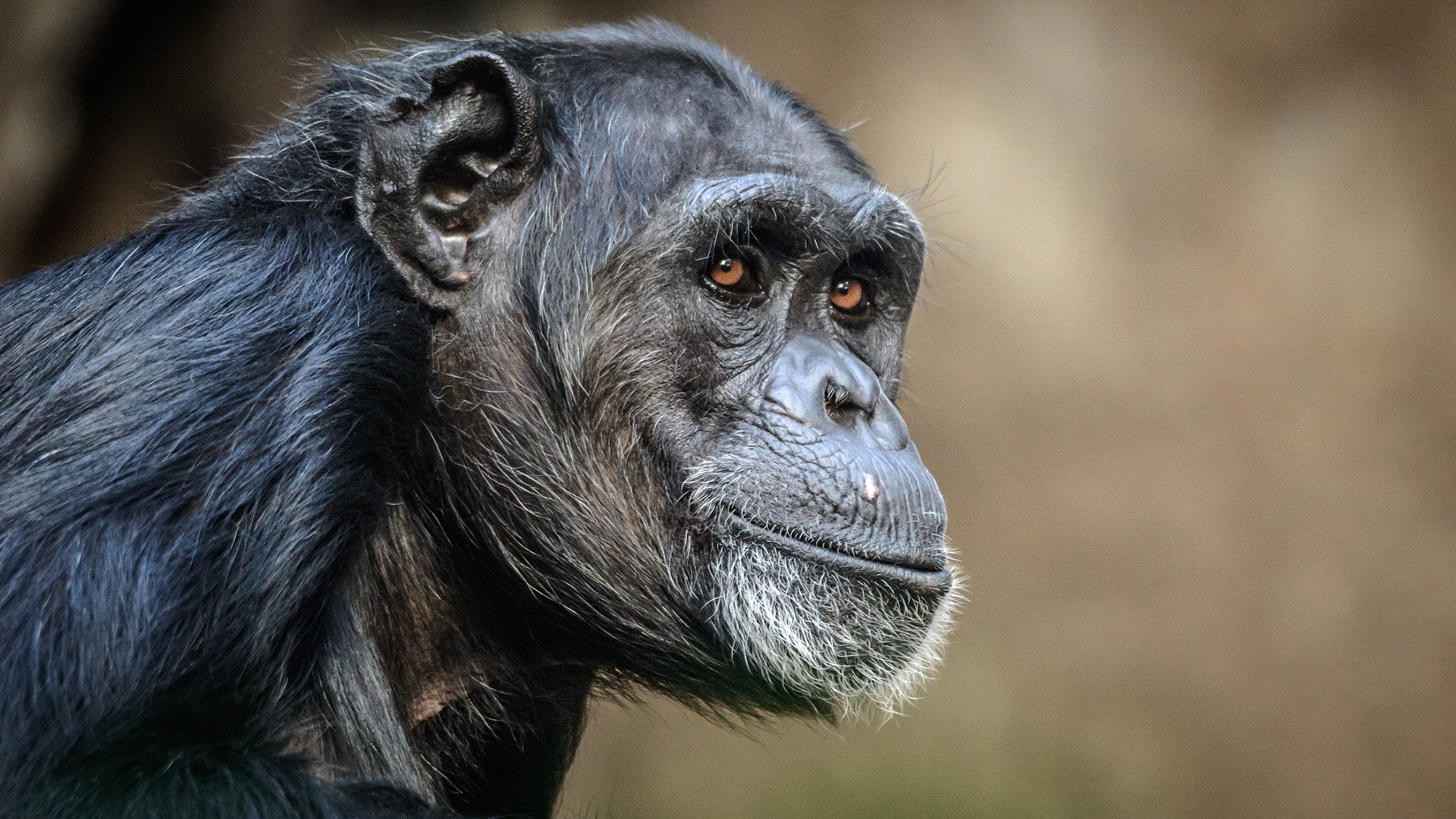 Lab-grown mini-brains highlight developmental differences between humans and great apes