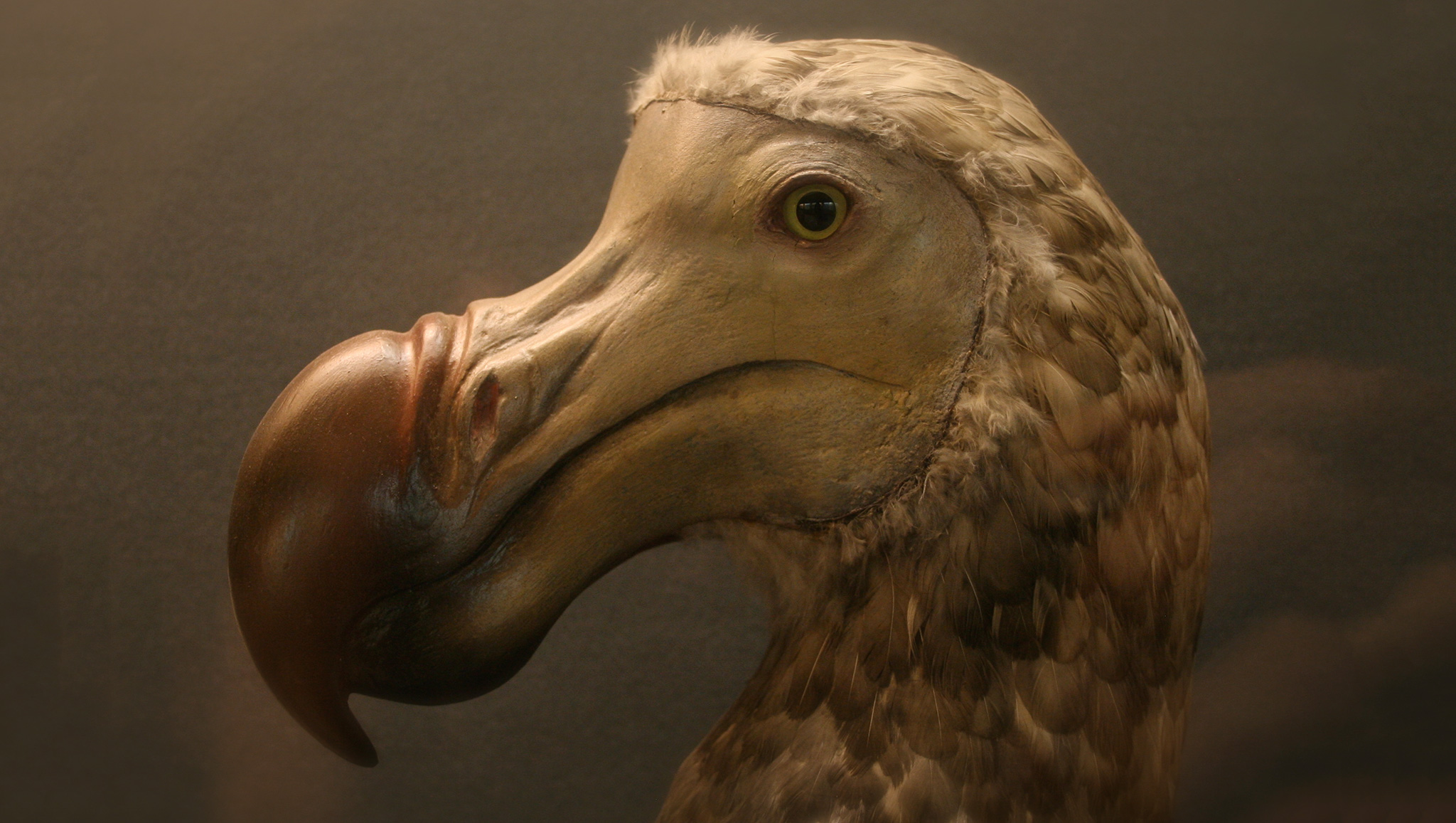 dodo-cropped2
