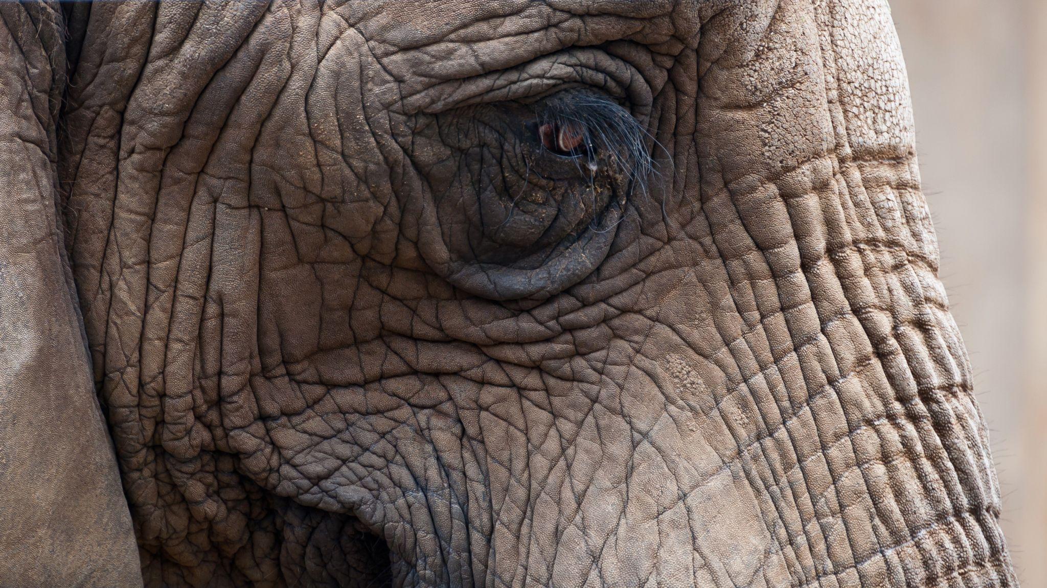 elephant-close-up